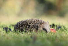 Little hedgehog looking at you Royalty Free Stock Images