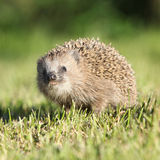 Little hedgehog looking at you Stock Images