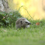 Little hedgehog looking at you Stock Photos