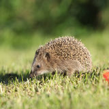 Little hedgehog looking at you Royalty Free Stock Image