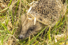 Little Hedgehog on Mt Hobson Auckland New Zealand. Wildlife Stock Image