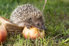 Little hedgehog ordinary lat. Erinaceus europaeus with an Apple on the grass in the basket Stock Images