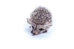 Little hedgehog Royalty Free Stock Images