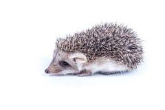 Little hedgehog Stock Images