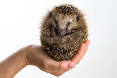 Little Hedgehog protected sitting in a hand Royalty Free Stock Image