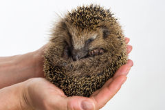 Little Hedgehog protected sitting in two hands Stock Photo
