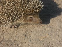 Little hedgehog is on the road stock images