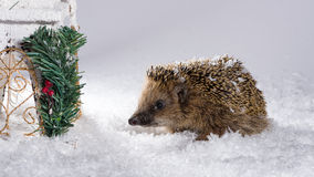 Little hedgehog searching for fodder in the snow royalty free stock photography