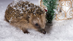 Little hedgehog searching for fodder in the snow. Poor, little hedgehog woke up in winter and is searching for fodder in the snow royalty free stock photo