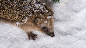 Little hedgehog searching for fodder in the snow. Poor, little hedgehog woke up in winter and is searching for fodder in the snow stock images