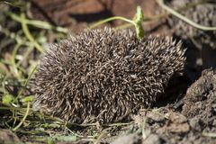Little Hedgehog showing needles Royalty Free Stock Photography