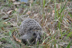 Little hedgehog. Sit in the grass Stock Images