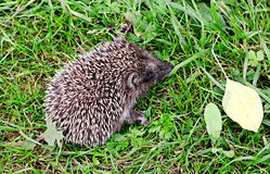 little hedgehog Royalty Free Stock Photos