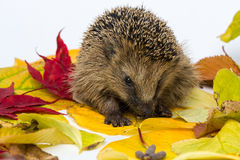 Little Hedgehog sitting on autumn leaves Stock Photos