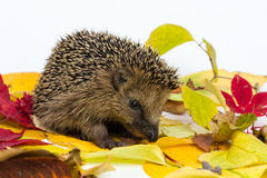 Little Hedgehog sitting on autumn leaves Royalty Free Stock Photography