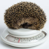 Little Hedgehog sleeping on a scale Royalty Free Stock Photo