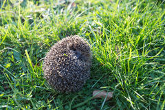 Little hedgehog Stock Image