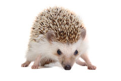 Little hedgehog. Stock Photography