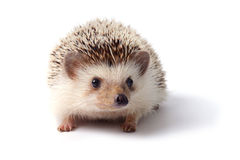 Little hedgehog. Royalty Free Stock Photo