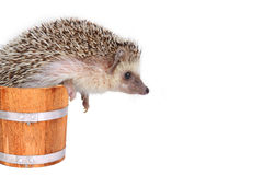 Little hedgehog in wooden bucket. Royalty Free Stock Photo