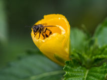 The little hello from the bee inside the yellow flower. Royalty Free Stock Photo
