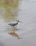 Little Heron Royalty Free Stock Photo