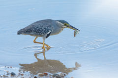 Little heron (Butorides striata) caught small fish with mirror image. Stock Photos