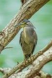 Little Heron (Butorides striata) Royalty Free Stock Photos