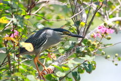 Free Little Heron (Butorides Striatus) Stock Images - 14202474