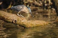 Little heron Stock Photos