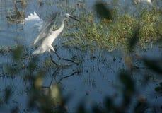 Little Heron Landing Royalty Free Stock Image