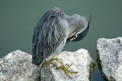 Little heron preening itself by a lake Royalty Free Stock Photography