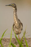 Little Heron Stock Images