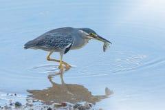 Little heron (Butorides striata) caught small fish with mirror image. Stock Photos