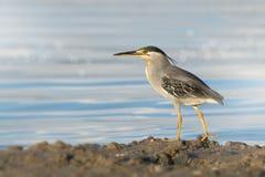 Little heron (Butorides striata) waiting to ambush prey,bokeh background Royalty Free Stock Photos