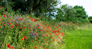 Little hill with poppies. Stock Image