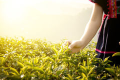 Little hill tribe farmer from Thailand picking tea leaves on tea. Plantation at Chui Fong , Chiang Rai, Thailand. Morning time with sunrise stock photography