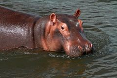 Little Hippo Portrait. A cute little Hippo looks at the camera while in the water stock image
