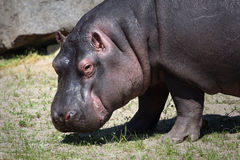 Little hippo in zoopraha Royalty Free Stock Photography