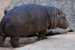 Little hippopotamus Stock Images
