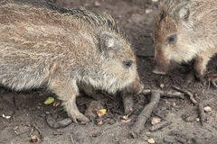 Little hogs Royalty Free Stock Photography