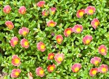 Little hogweed Stock Image