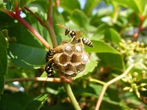 Little honeycomb wasp Stock Photography