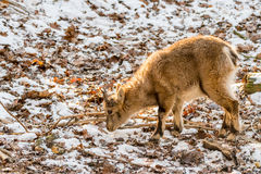 Little horned Ibex in front of stony Background with snow Stock Photography