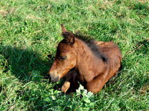 Little horse Stock Image