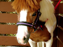 Little horse. Potrait horse stock images