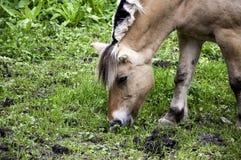 Little horse Royalty Free Stock Photos