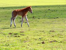 Little horse or colt walking the meadow. Little horse or colt walking in the meadow Royalty Free Stock Photo