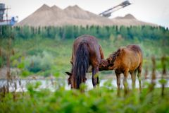Wild horses along the river; drinking horse foal royalty free stock images