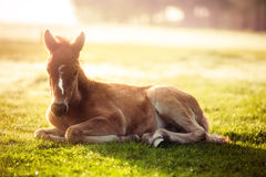 Little horse in a field at sunrise, closeup Royalty Free Stock Photos
